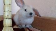 Декоративный кролики Вислоухие кролики